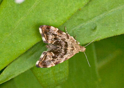 Anthophila fabriciana (Nettle-tap) moth