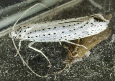 Yponomeuta evonymella moth
