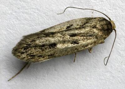 Hofmannophila pseudospretella (Brown House-moth)