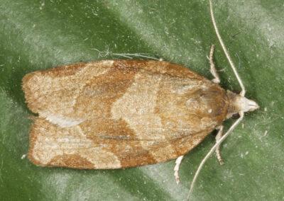 Pandemis cerasana (Barred Fruit-tree Tortrix ) moth