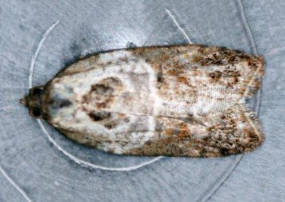 Acleris variegana (Garden Rose Tortrix ) moth