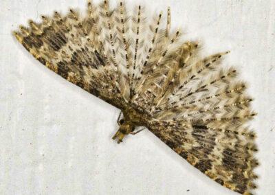Alucita hexadactyla (Many-plumed / Twenty-plume) moth