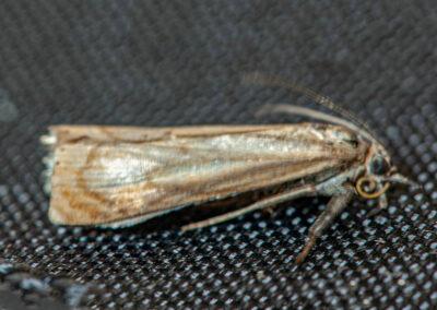 Chrysoteuchia culmella moth