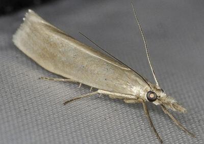 Crambus perlella moth