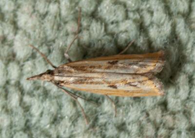 Agriphila inquinatella moth