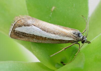 Catoptria margaritella moth
