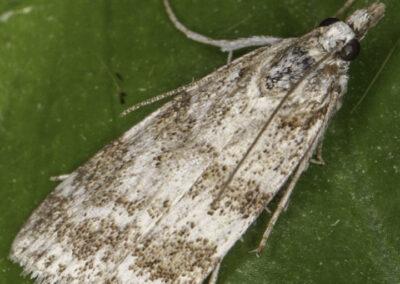 Scoparia ambigualis moth