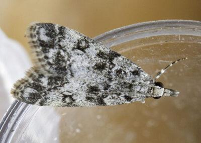 Eudonia lacustrata moth