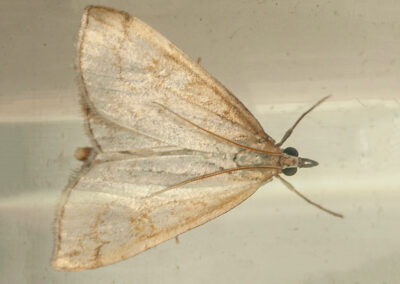 Udea lutealis moth