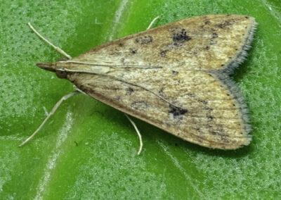 Rusty-dot Pearl (Udea ferrugalis) moth