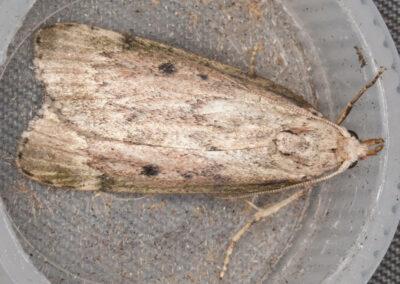 Bee Moth (Aphomia sociella) ♀