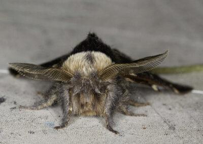 December (Poecilocampa populi) moth