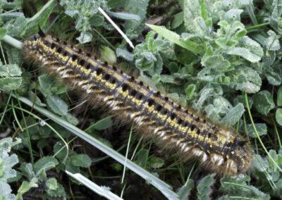 Drinker Moth (Euthrix potatoria) larva