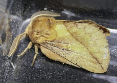 Drinker (Euthrix potatoria) moth