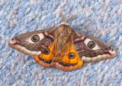 Emperor Moth (Saturnia pavonia)