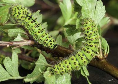 Emperor Moth (Saturnia pavonia) larvae