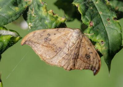 Pebble Hook-tip (Drepana falcataria) moth
