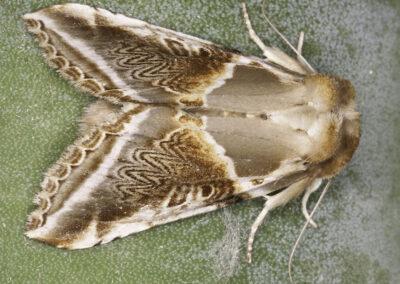 Buff Arches (Habrosyne pyritoides) moth