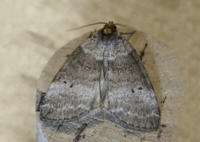 Common Lutestring (Ocropacha duplaris) moth