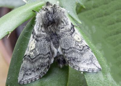 Yellow Horned (Achlya flavicornis) moth