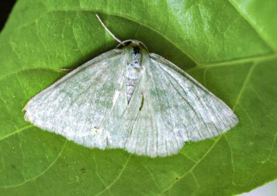 Grass Emerald (Pseudoterpna pruinata) moth
