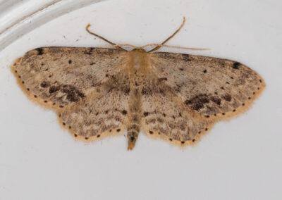 Single-dotted Wave (Idaea dimidiata) moth