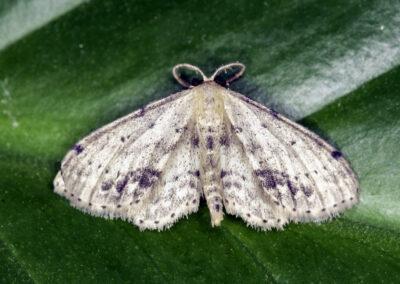 Single-dotted Wave (Isaea dimidiata) moth