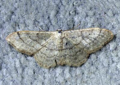 Plain Wave (Idaea straminata) moth
