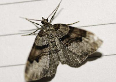 Flame Carpet (Xanthorhoe designata) moth