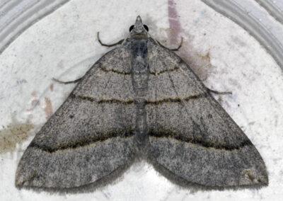 July Belle (Scotopteryx luridata) moth