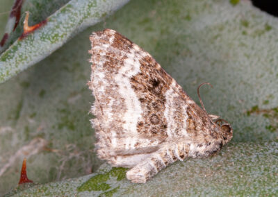 Common Carpet (Epirrhoe alternata alternata) moth