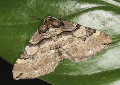 Shoulder Stripe (Anticlea badiata) moth