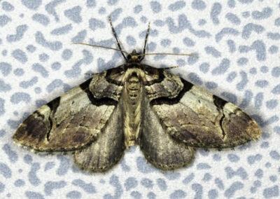 Streamer (Anticlea derivata) moth