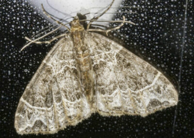 Small Phoenix (Ecliptopera silaceata) moth