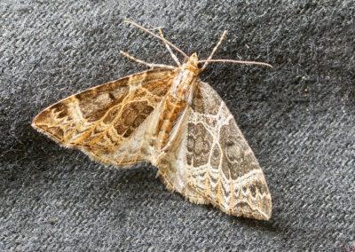 Small Phoenix (Ecliptopera silaceata f. insulata) moth