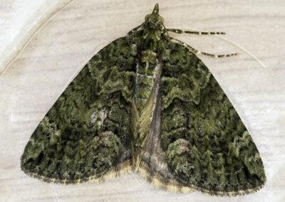 Red-green Carpet (Chloroclysta siterata) moth