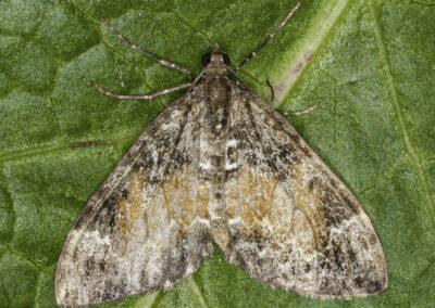 Common Marbled Carpet (Chloroclysta truncata) moth