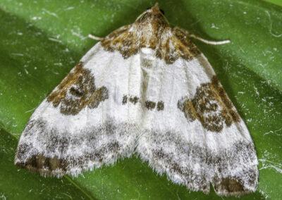 Blue-bordered Carpet (Plemyria rubiginata rubiginata) moth