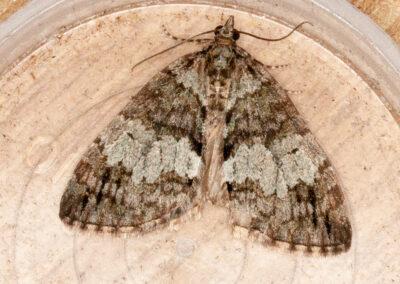 May High-flier (Hydriomena impluviata) moth