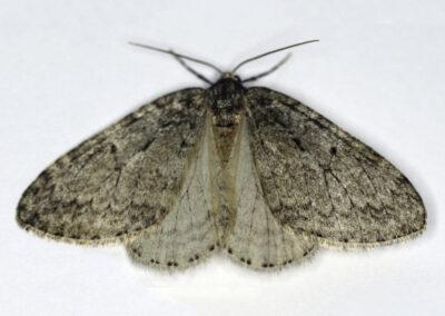 November Moth agg. (Epirrita dilutata agg.) moth