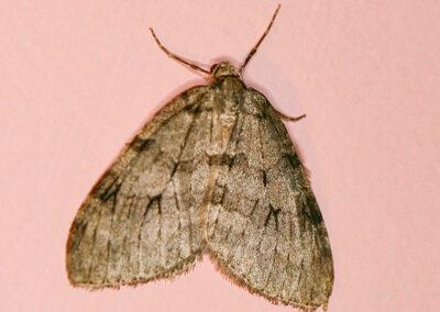 Autumnal Moth (Epirrita autumnata) moth