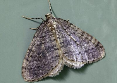 Winter Moth (Operophtera brumata) moth
