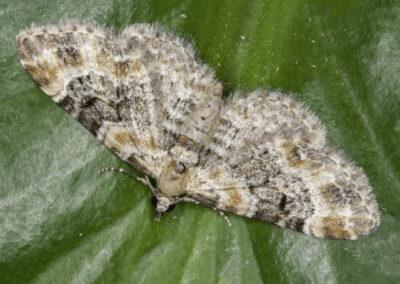 Foxglove Pug (Eupithecia pulchellata pulchellata) moth