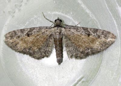 Tawny Speckled Pug (Eupithecia icterata) moth