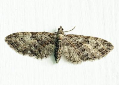Brindled Pug (Eupithecia abbreviata) moth