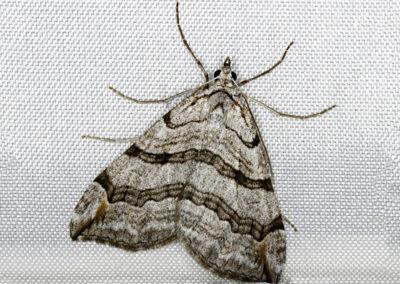 Treble Bar (Alplocera plagiata plagiata) moth