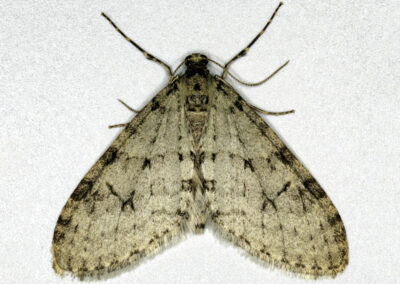Early Tooth-striped (Trichopteryx carpinata) moth