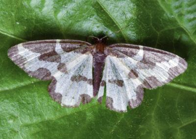 Clouded Border (Lomaspilis marginata) moth