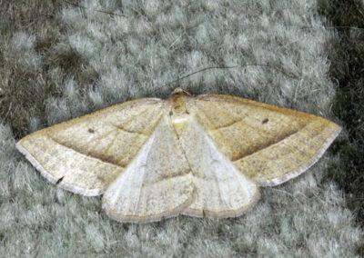 Brown Silver-line (Petrophora chlorosata) moth