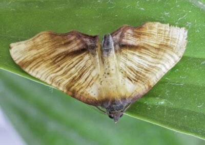 Scorched Wing (Plagodis dolabraria) moth